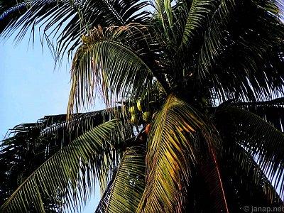 Kokosů co hrdlo ráčí… (nahrál: admin2)